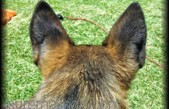 dark erect ears – malinois puppy