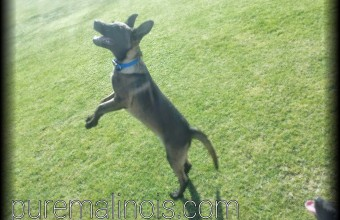 dancing on two legs – malinois puppy