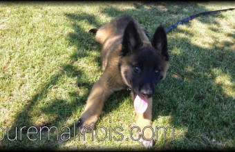 elegant long haired malinois puppy