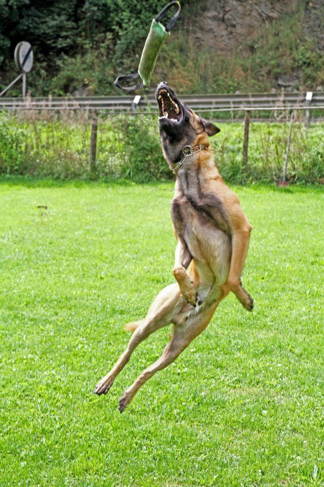 belgian malinois dog jump belgian malinois puppies