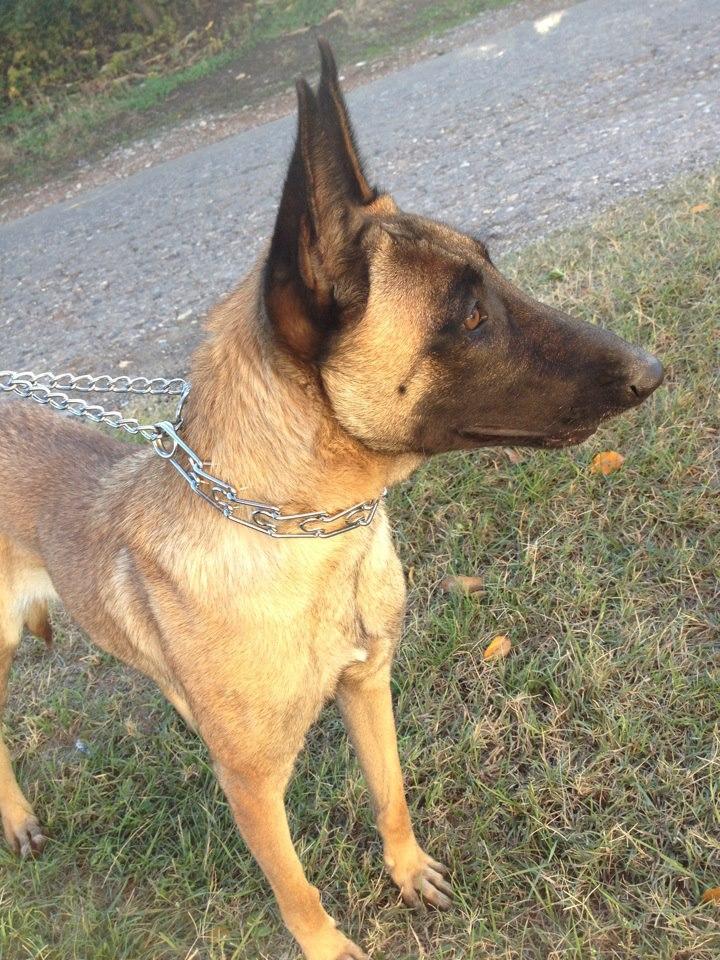 belgian malinois puppy stare – Pure Malinois Puppies