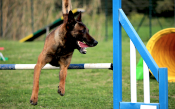 Are Belgian Malinois more difficult to train than other types of dogs?