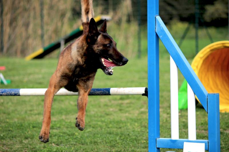 Malinois doing agility.