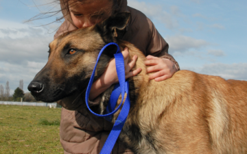 What are some tips on training a Belgian Malinois?