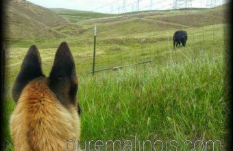 Belgian Malinois Puppy Watching A Strange Animal