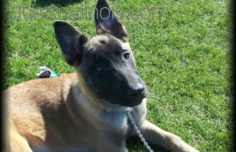Belgian Malinois Puppy With A Deep Look