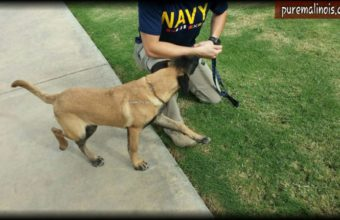Belgian Malinois Getting To Know His New Handler
